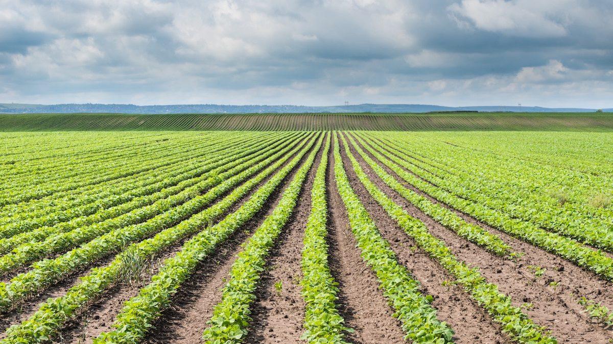legumes crops